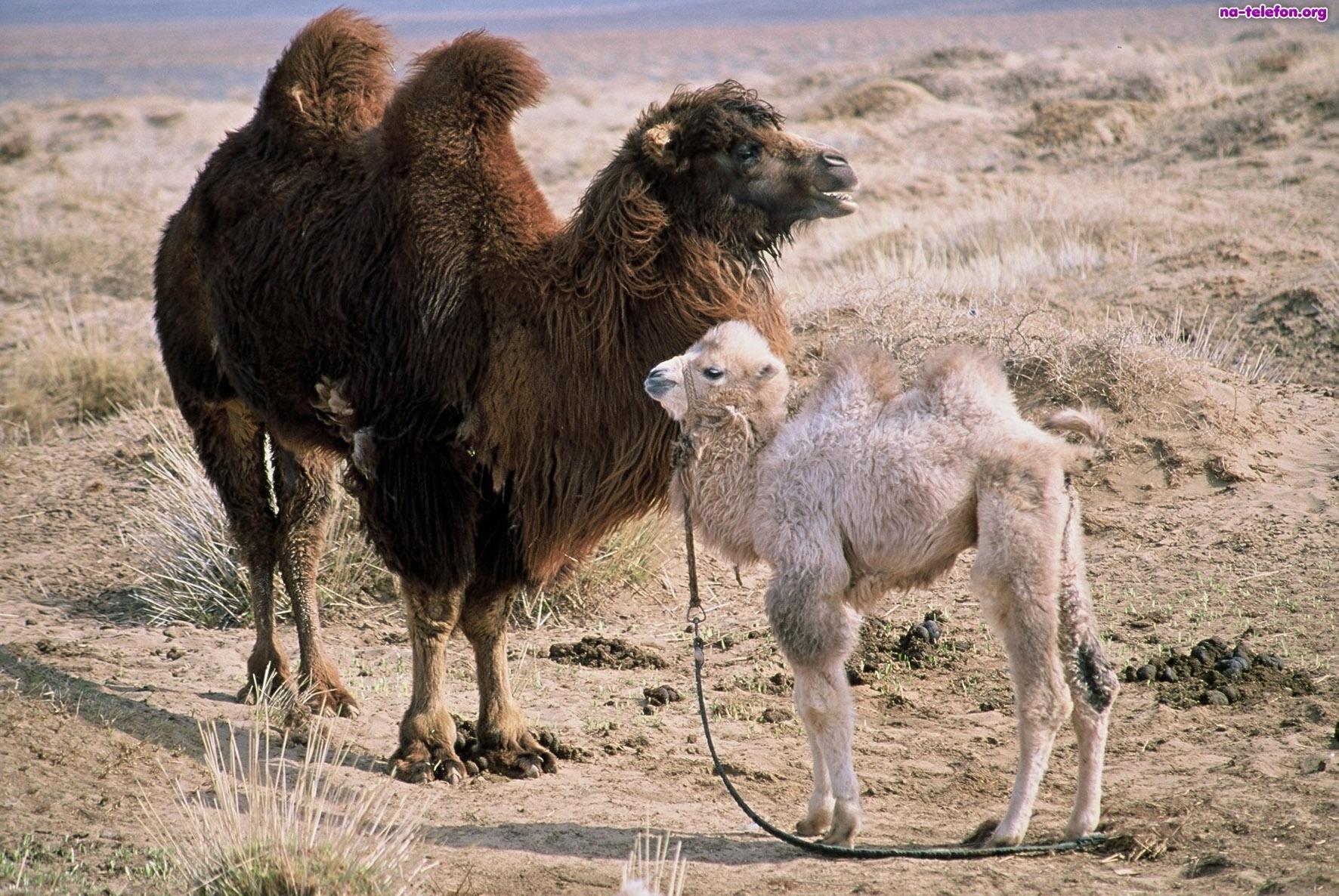 cammello male-wielblad